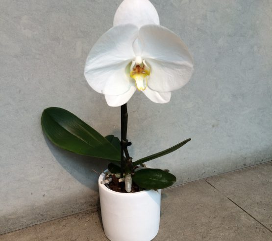 Orchidee solo
